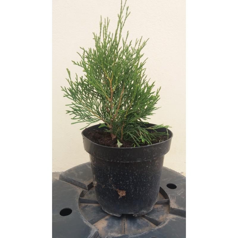 Thuja smaragd / Tuia occidentalis Smaragd