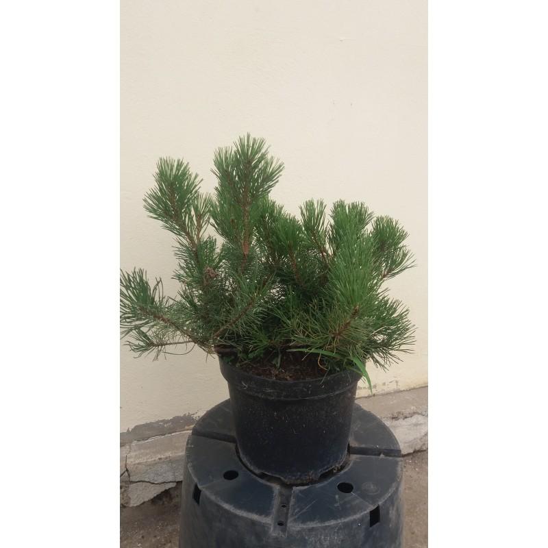 Pinus mugo, pin mugo
