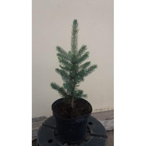 Picea pungens glauca / Brad Molid argintiu